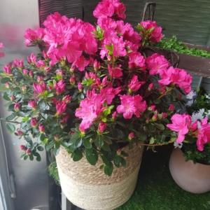 pianta di azalea