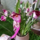 Orchidea miltonia in vaso
