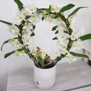 pianta orchidea dembronium