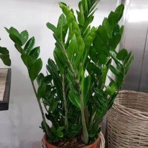 pianta-zamiaculcas