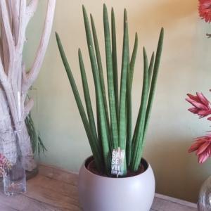 angolo-fiorito-pianta-sansevieria-cylindrice