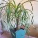 pianta-beaucarnea-pisa