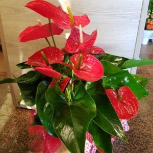 pianta-di-anthurium-pisa